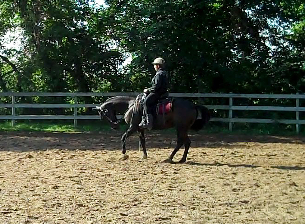 Rein back on a gaited horse