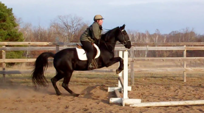 Gaited horse over jumps