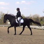 Cantering the gaited horse