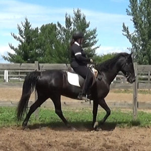 Naturally gaited Tennessee walking horse flatwalk