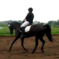 Gaited horse cantering