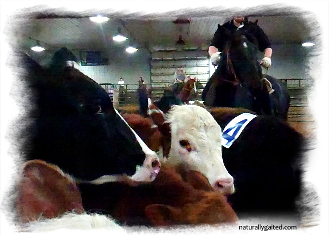naturallygaited-soting-cows