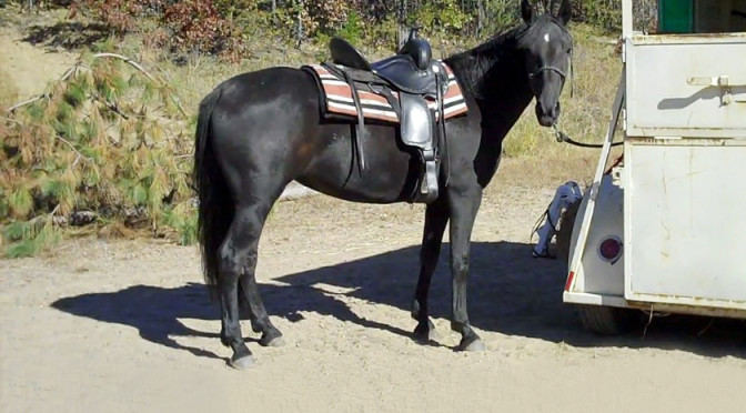 "Video: ""I bought a gaited horse, why isn't it gaiting?"""