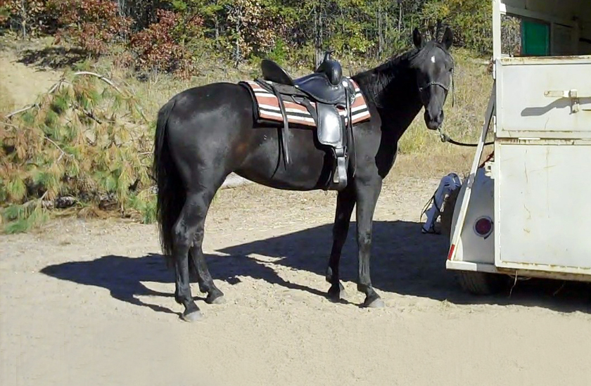 gaited horse for trail riding
