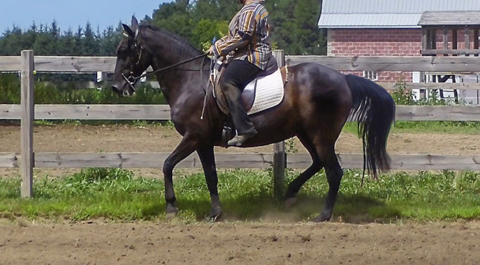July2018_Naturally_Gaited_Tennessee_Walking_Horse_Piaffe